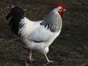 light-sussex-rooster