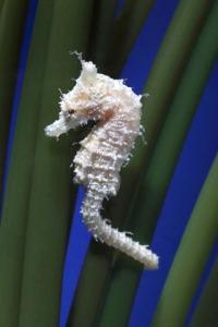 Dwarf_seahorsea