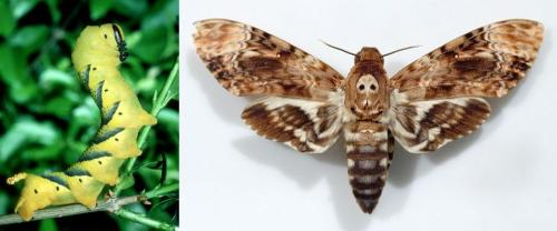 Death's-Head Moth (How metal is that skull on its thorax?)