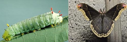 Promethia Moth